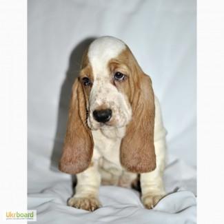 Бассет-хаунд ушастое чудо щенки