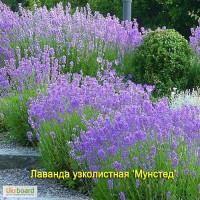 Садовые многолетние цветы от 31 грн