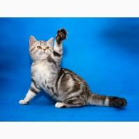 Шотландский котенок-девочка в разведение или в любимицы