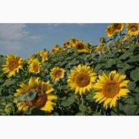 Українське сонечко, Сонячний настрій