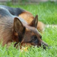 Племенной питомник предлагает вашему вниманию щенков немецкой овчарки КСУ/FCI