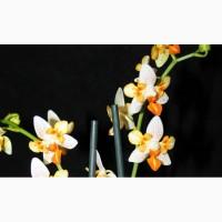 Продажа орхидей