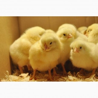 Яйцо бройлер. КОББ-500, РОСС-308, РОС-708. Зарубежное инкубационное яйцо