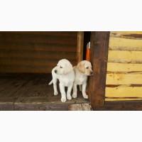 Лучшие щенки Лабрадора Ретривер из питомника в Горах
