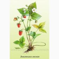 Продам саженцы Земляники и много других растений (опт от 1000 грн)