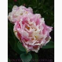 Продам луковицы Тюльпанов Махровых + Бахромчатый и много других растений (опт от 1000 грн)