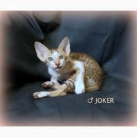 Сиамо-Ориентальные котята / орики, редкого окраса