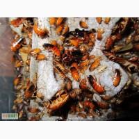 Продам туркменский таракан (Shelfordella tartara) Киев+доставка в другие регионы