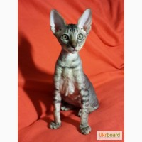 Великолепные котята Корниш Рекс