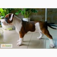 Продам алиментного щенка стаффорда