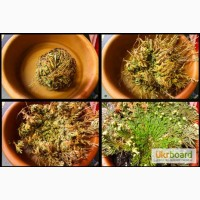 Комнатное растение - Иерихонская роза