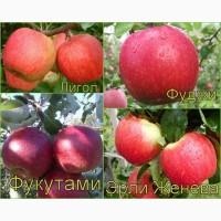 Саженцы яблони многосортовые