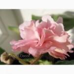 Фиалки сортовые, детка стартер Dumpling - красивые розово-персиковые густомахровые цветы
