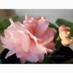 Фиалки сортовые, детка Dumpling - красивые розово-персиковые густомахровые цветы