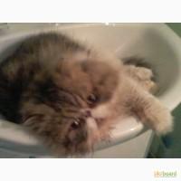 Персидский кот.Перс вязка. Экзот