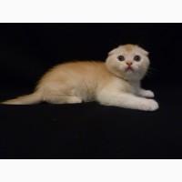 Продам рыжего (красного) тикированного на серебре котенка скоттиш фолд (scottish fold) SFS