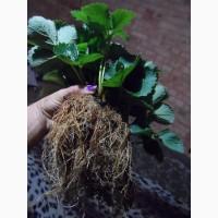 Продам рассаду крупноплодной сортовой садовой земляники (клубники)