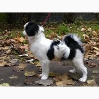 Продам щенков японского хина