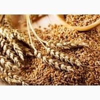 Куплю пшеницю 2, 3 класу дорого. Київ і область