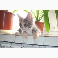 Мейн кун кошечка голубо-кремовая с белым, WCF