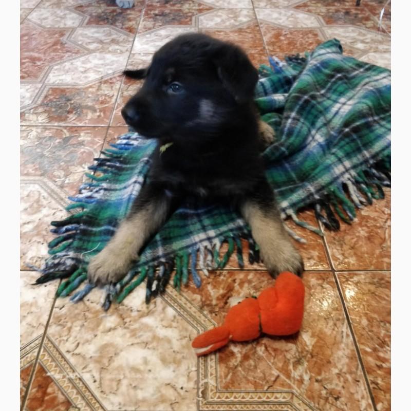 Фото 2/6. Продаются породистые щенки восточно-европейской овчарки