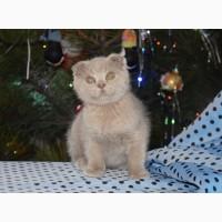 Скоттиш фолд, шотландский вислоухий плюшевый котенок