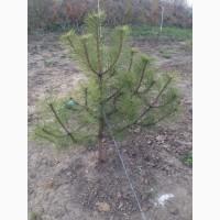 Сосна Крымская на пересадку и много других растений (опт от 1000 грн)