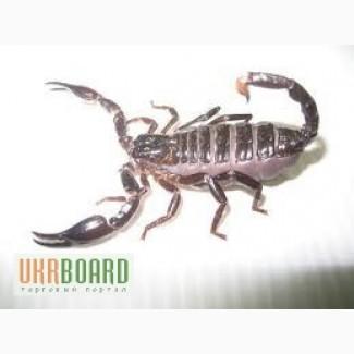 Продам скорпионы Heterometrus spinifer