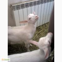 Продаются зааненские козлята