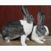 Племінні кролі Рекс
