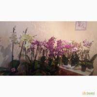 Орхидея Фаленопсис Спецсорт, Каскад, Стандарт