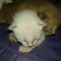 Продам котят Бурма