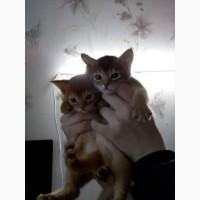 Абисссинские котята