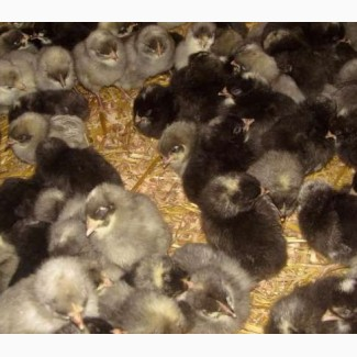 Продам курчата курей Домінант