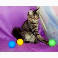 Мейн кун, крупный красивый котенок с документами WCF