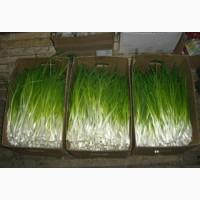 Продам зелёный лук объемы имеются