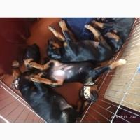 Продаются племенные щенки добермана ТОП