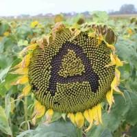 Семена подсолнечника гибрид Айдар