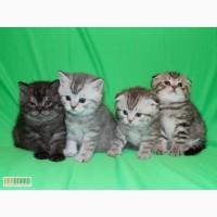 Шотландские котята Arts Family Помёт П