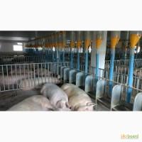 Боксы для содержания свиноматок