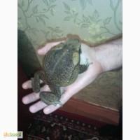 Продам жаб аг(Bufo Marinus)