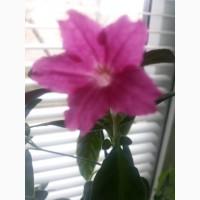 Руэлия розовая