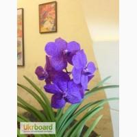 Орхидея Ascocenda Princess Mikasa Blue цветущая
