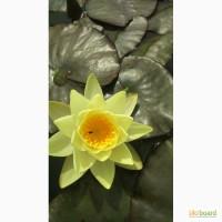 Водяні лілії ( Німфеї) 3 види