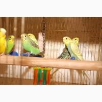 35 дневные волнистые попугайчики, разноцветные попугаи для разговора