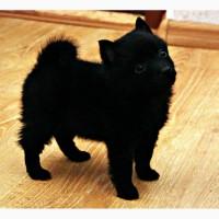 Питомник KievStarFlock предлагает щенков ШИППЕРКЕ (Schipperke) - самой маленькой овчарки