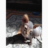 Продам котенка канадского сфинкса