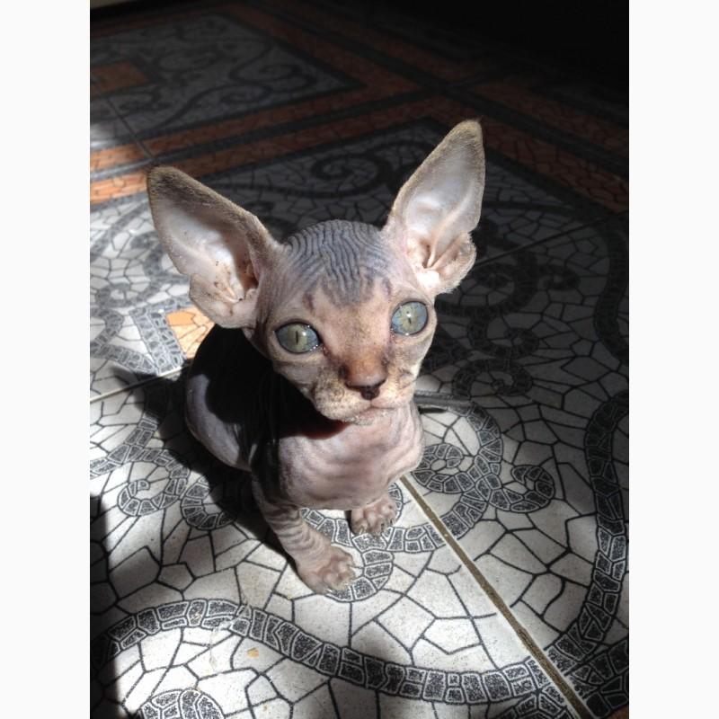 Фото 3/3. Продам котенка канадского сфинкса