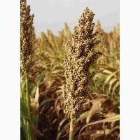 Семена гибрида зернового сорго «Спринт W», «Прайм», «Даш Е»