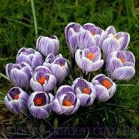 Продам луковицы Крокуса Крупноцветкового и много других растений (опт от 1000 грн)